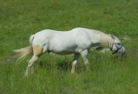 White horse on a meadow