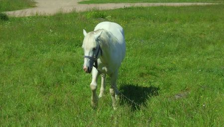 White horse standing on a meadow