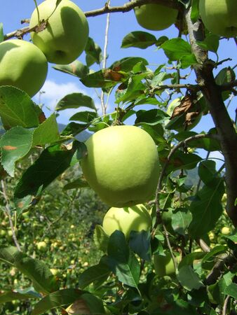 Apple in a garden near Merano, Italy Stock Photo