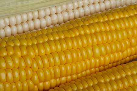 freshly harvested corn, close up  photo