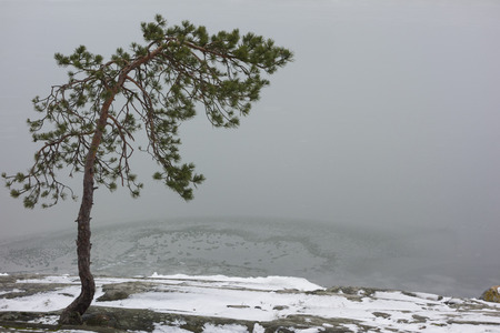 Lonely bent pine growing on a rock on the shore of the frozen sea