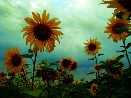 Yellow sunflowers photo