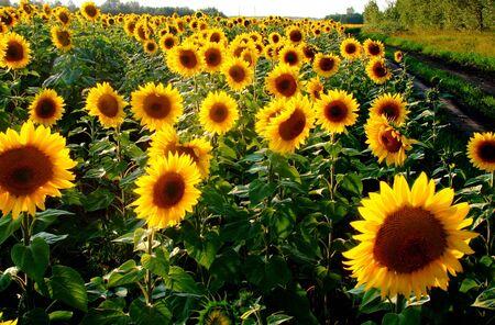 Yellow sunflowers blossom photo