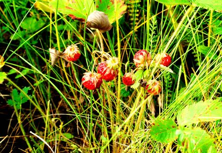Wild strawberry ripened in the steppe of the Altai photo