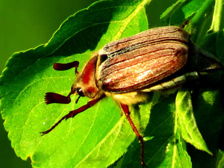 to woo: Big brown beetle sitting on a green piece of woo