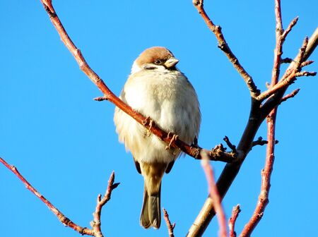 Grey Sparrow sits in the spring on a branch of Rowan photo