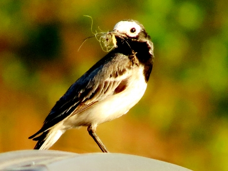 builds:                                White Wagtail builds a nest for deducing of posterity
