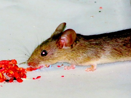 poisoned:                                Grey mouse eats poisoned bait in the House Stock Photo