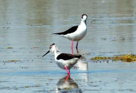 waders: Waders en el pantano son alimentados con insectos invertebrados