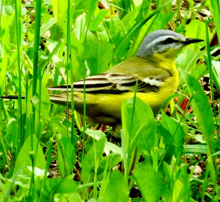 The yellow wagtail hid in a green grass from danger photo