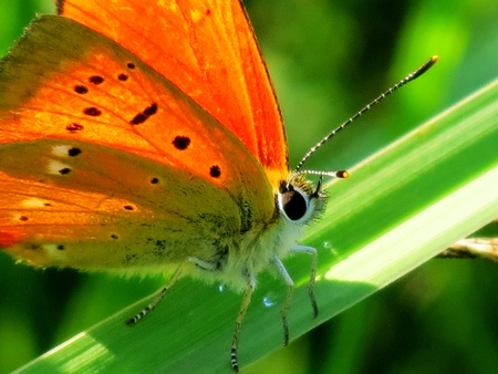 Orange Butterfly sitting on a green grass stalk rests photo