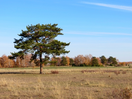 lone pine: Un pino solitario crece en las llanuras del Altai