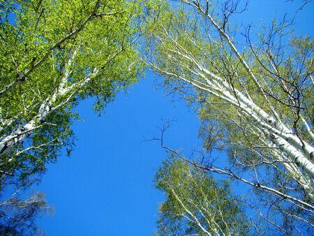 leaflets: On birch trees the first leaflets were dismissed
