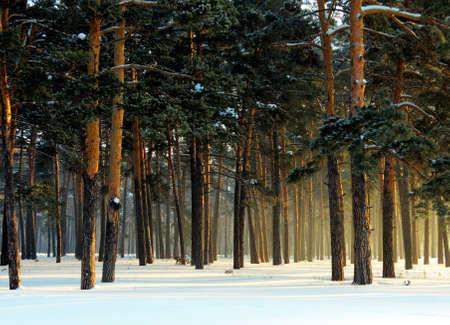 sun lit:           Rising sun lit winter forest                      Stock Photo