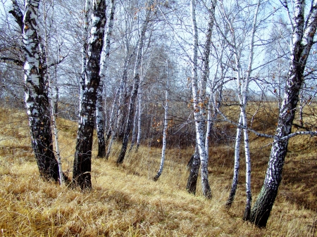 at came: Spring came early in the Birch Grove