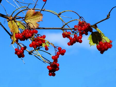 guelderrose: The guelder-rose berry ripened for preparation for the winter Stock Photo