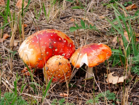 grew: The family of fly agarics grew on a lawn in the wood Stock Photo