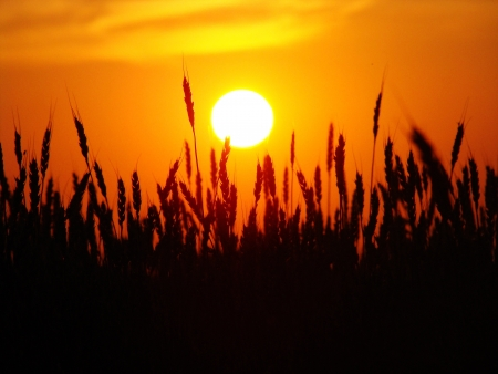 The red sun sits down over a field with wheat photo
