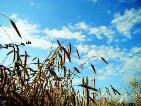 inclined: Ripe ears of wheat were inclined to the earth
