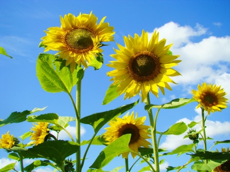 Sunflowers yellow color blossom on fields of the farmer photo