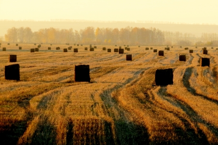 Rolls of straw lie in the field after bread cleaning                      photo