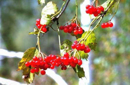 guelderrose: The guelder-rose red ripened in the fall for harvesting