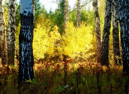 shined: The ray of sunlight brightly shined birches in the wood Stock Photo