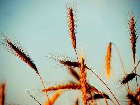 Ears of wheat ripened for harvesting on fields of the farmer photo