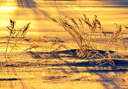 seem: In the morning at sunrise snow and a grass seem gold