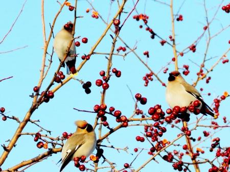 Three sviristel on apple-trees are fed with red apples photo