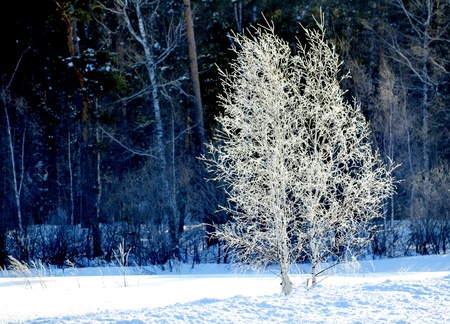 In the winter of a birch put on a winter dress from snow