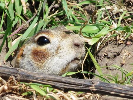 harmful:    Gophers of Altai are harmful rodents of agriculture Stock Photo
