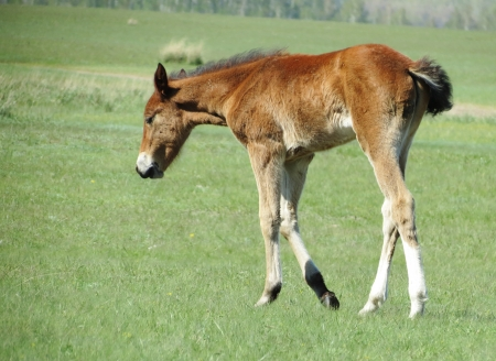 grazed:                                           Young foals are grazed in the spring in the steppe