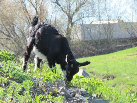 hoofed animal: Las cabras son pastoreados casa en el resorte en una hierba joven Foto de archivo