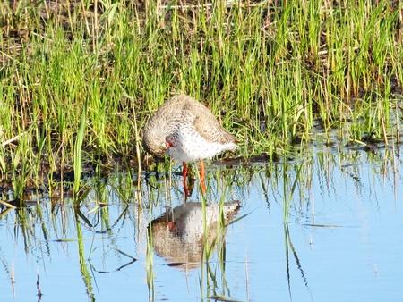 herbolaria: El correlimos los costos herbolario en el agua en un pantano Foto de archivo