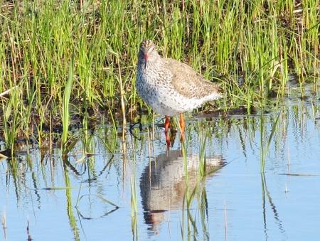 herboristeria: El correlimos los costos herbolario en el agua en un pantano Foto de archivo