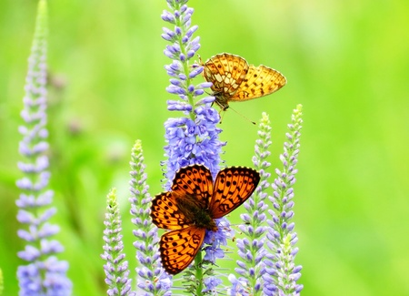 flit:                                                Butterflies on a meadow flit on blue flowers