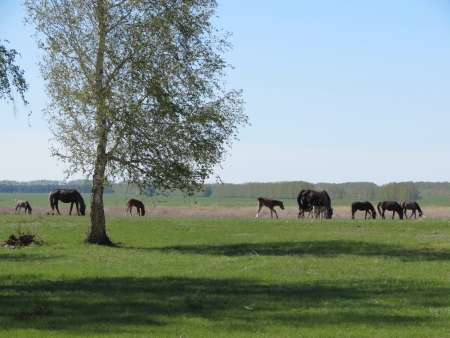 are grazed: House horses are grazed in the spring steppe