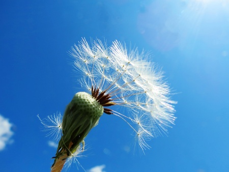 White seeds from fading dandelions fly Stock Photo - 21602662