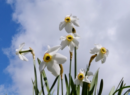 flowerses: White flowerses narcissuses grow summer on flowerbed in garden