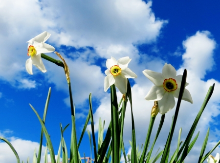 flowerses:        White flowerses narcissuses grow summer on flowerbed in garden                         Stock Photo