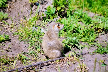 burrows: Gophers-rodents Altaya occupy important place in agricultures