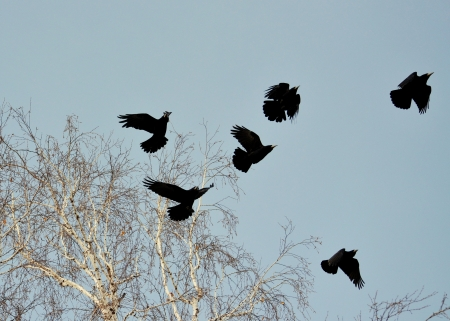ed: Rooks have ed to remove nestling by springtime on white birches
