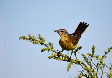 canto: ZHeltaya wagtail sits on branch and sings canto