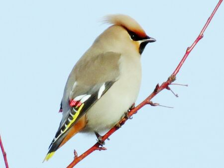 At winter day of the waxwings eat on snow by red berry