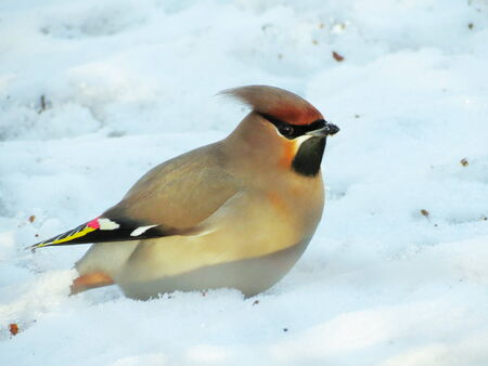 bull     s eye: At winter day of the waxwings eat on snow by red berry