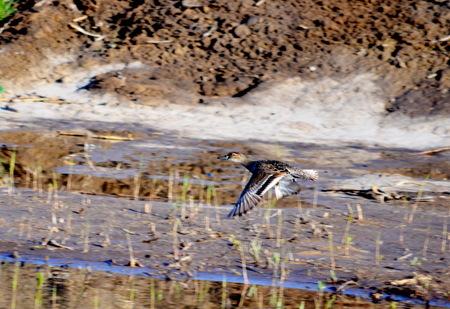 bulrushes: Springtime on steepe lake fly to multiply wild ducks Stock Photo