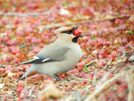 At autumn day of the waxwings eat on snow by red berry