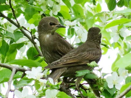 canto:                 Springtime starling прилетают with south to remove nestling