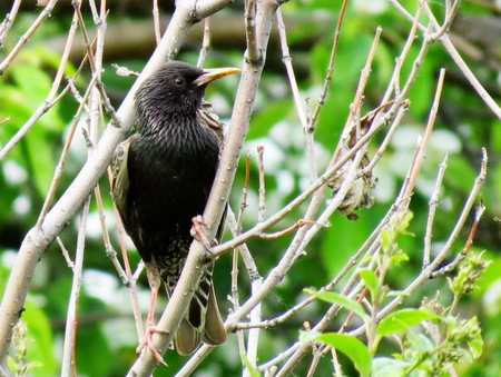 canto:               Springtime starling прилетают with south to remove nestling                  Stock Photo